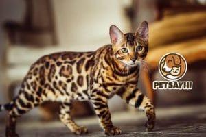 แมวเบงกอลหรือเสือน้อยเบงกอล