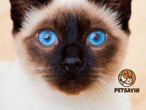 แมววิเชียรมาศ แมวโบราณสายพันธุ์ไทยแท้