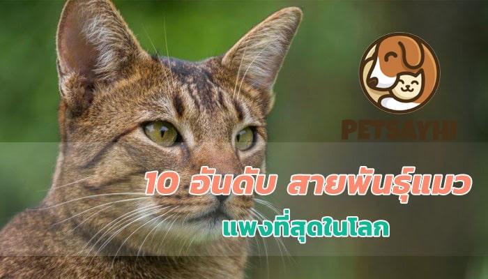 10 อันดับ แมวที่แพงที่สุดในโลก ตอน 2