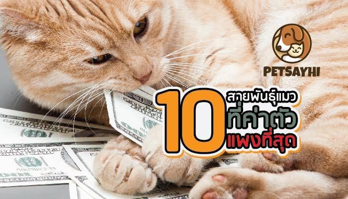 10 อันดับแมวที่แพงที่สุดในโลก ตอน 1