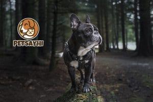น้องหมา เฟรนช์ บูลด็อก (French Bulldog)
