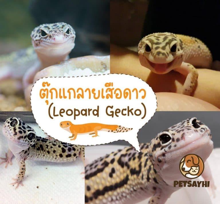 สัตว์เลี้ยง ตุ๊กแกลายเสือดาว (Leopard Gecko)