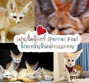 สัตว์เลี้ยง เฟนเน็คฟ็อกซ์ (Fennec Fox)