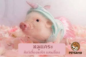 สัตว์เลี้ยง หมูแคระ (Mini pig)