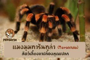 สัตว์เลี้ยงสุดแปลก แมงมุมทารันทูล่า